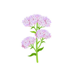 Valeriana officinalis vector