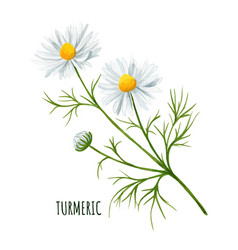 White daisy flower with bud and leaves vector