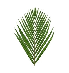 Green palm leafe isolated on white vector