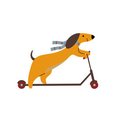 Purebred brown dachshund dog riding kick scooter vector