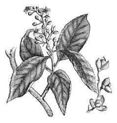 Celastrus scandens or American bittersweet vintage vector image