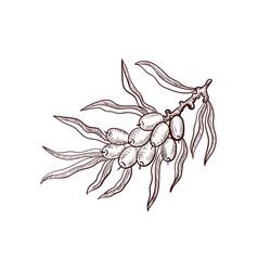 drawing sea buckthorn branch vector image