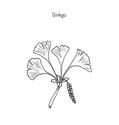 ginkgo biloba ginkgo or maidenhair tree vector image