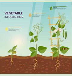 Infographic plant growth stages botany vector