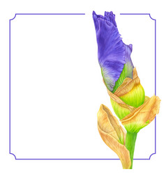 watercolor pink iris botanical art template for vector image vector image