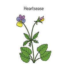 Heartsease viola tricolor ornamental and vector