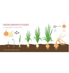 Onion plant growing stages from seeds to ripe vector