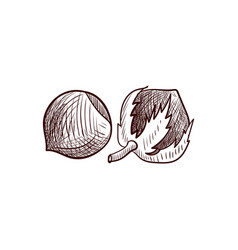 drawing hazelnuts vector image