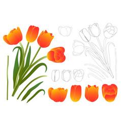 orange bouquet tulip vector image