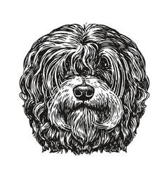 hand drawn portrait lapdog dog pet animal vector image