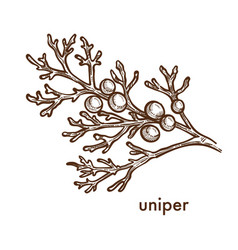 Uniper juniper plant with berries and foliage icon vector