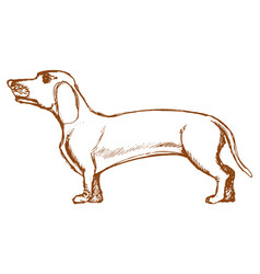 dachshund side view vector image