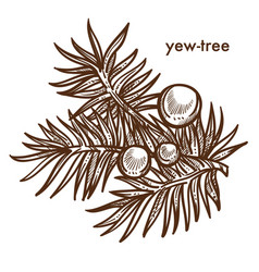 Yew-tree branch of tree with berries monochrome vector