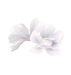 two white beautiful magnolia vector image