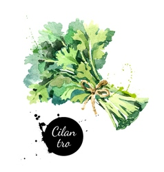 Watercolor hand drawn cilantro bunch Isolated eco vector image