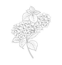 Blooming flower hydrangea vector