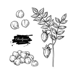 chickpeas hand drawn isolated vector image