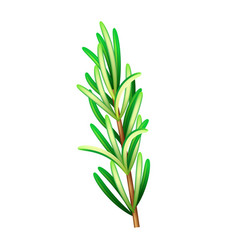 Realistic fresh rosemary herb isolated vector