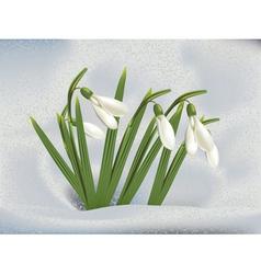 Snowdrops in snow vector image