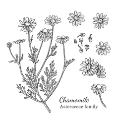 Ink chamomile hand drawn sketch vector image