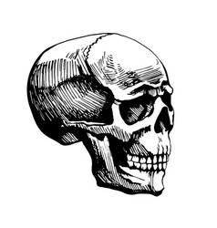 Skull man sketch vector