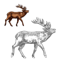 Roaring deer sketch animal with large antlers vector