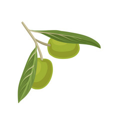 olive branch source of edible oil vector image