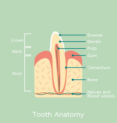 side view of incisor tooth anatomy structure vector image