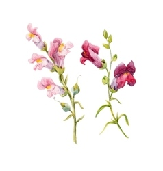 Watercolor snapdragon flower vector