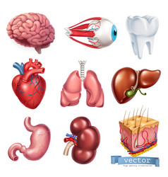 human heart brain eye tooth lungs liver stomach vector image
