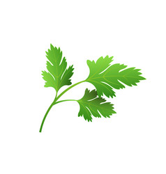 Realistic fresh parsley leaf herb isolated flat vector
