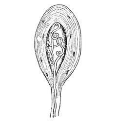 termination a medullated nerve fiber vintage vector image