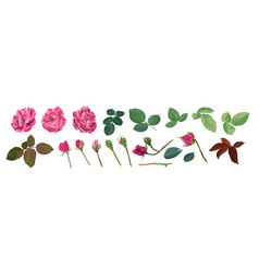 rose flower element petals and buds with leaves vector image