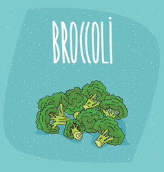 Isolated ripe vegetables broccoli stalks vector