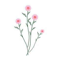 Old Rose Daisy Blossoms on A White Background vector