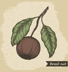 brazil nut fruit vintage engraved vector image