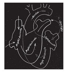 Circulation through the heart vintage vector