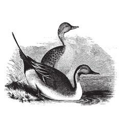 Pin tail ducks vintage vector