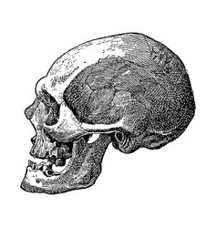 Vintage engraving a skull vector