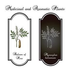 balsam of peru myroxylon balsamum medicinal vector image