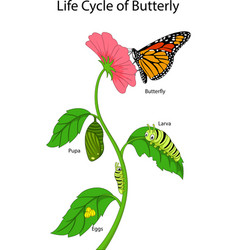 a monarch butterfly life cycle vector image