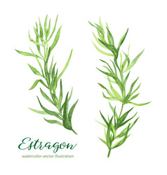 Estragon watercolor vector
