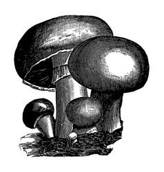 vintage engraving mushrooms vector image
