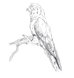 Black and white sketch of a Macaw Parrot vector image vector image