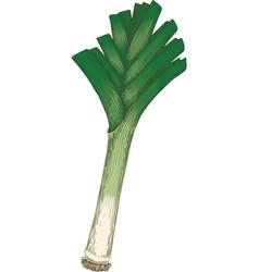 fresh green leek vector image