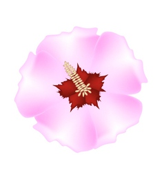 Fresh pink hibiscus flower on white background vector