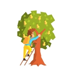 Guy Hand Picking Pears With Ladder vector