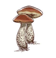 Brown cap boletus color sketch vector