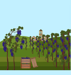 grapes vine harvest vector image