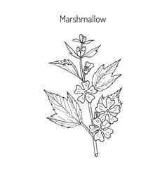 Marshmallow medicinal herb vector